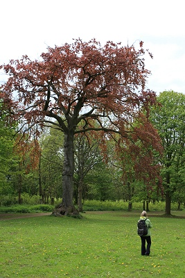 Sadly this copper beech is now a stump